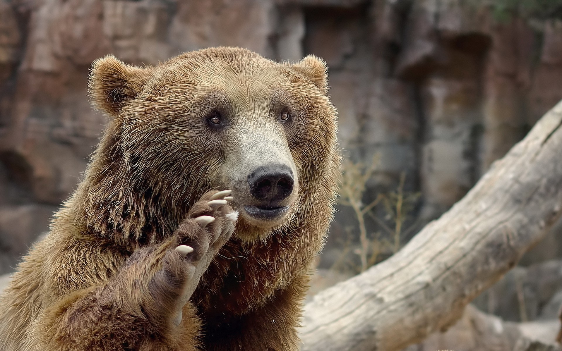 Animals___Bears_Bear_waving_his_paw_046384_